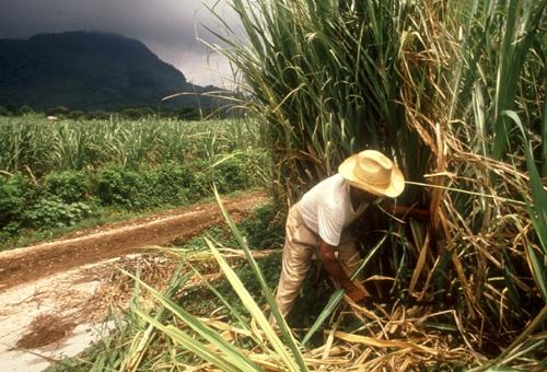 Una disminución de las exportaciones saturaría el mercado nacional, y afectaría la creación de empleos del sector cañero.