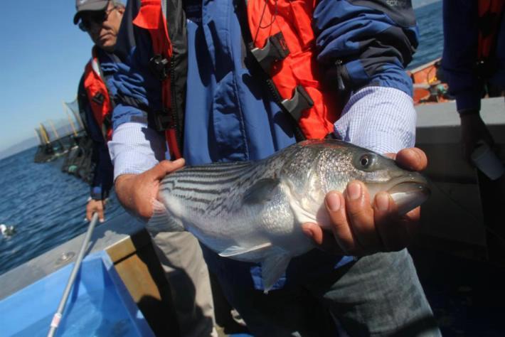 México  es el traficante número uno de China para la obtención de animales marítimos, especialmente del Totoaba, un pez de casi dos metros que habita en el Golfo de California.