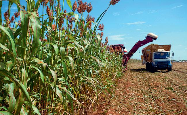 En México se pretende crear etanol a partir de sorgo.