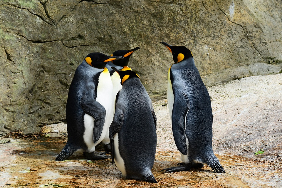 Pingüinos. Foto: Pingüinos/Pixabay