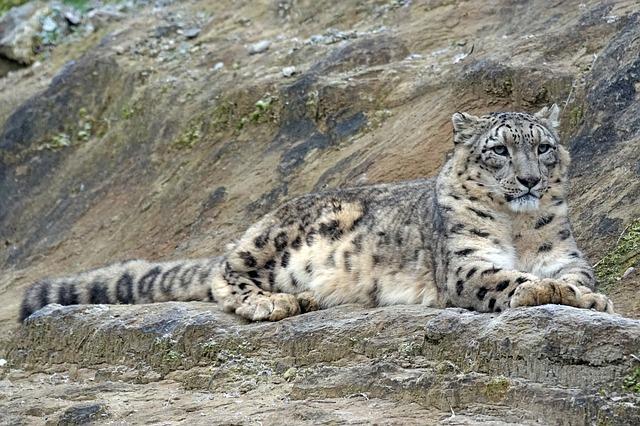Leopardo de las Nieves. Foto: Pixabay