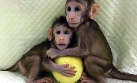 Macacos clonados en China