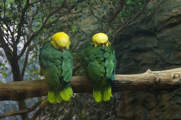 La habilidad para imitar la voz humana es una de las razones de la alta demanda del loro cabeza amarilla, un ave endémica de Tamaulipas que está en peligro de extinción.