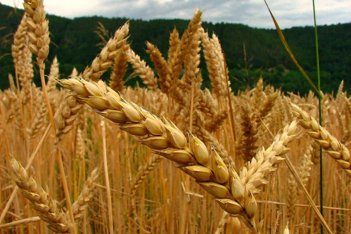 El trigo representa el 16% de las exportaciones de México hacia Turquía.