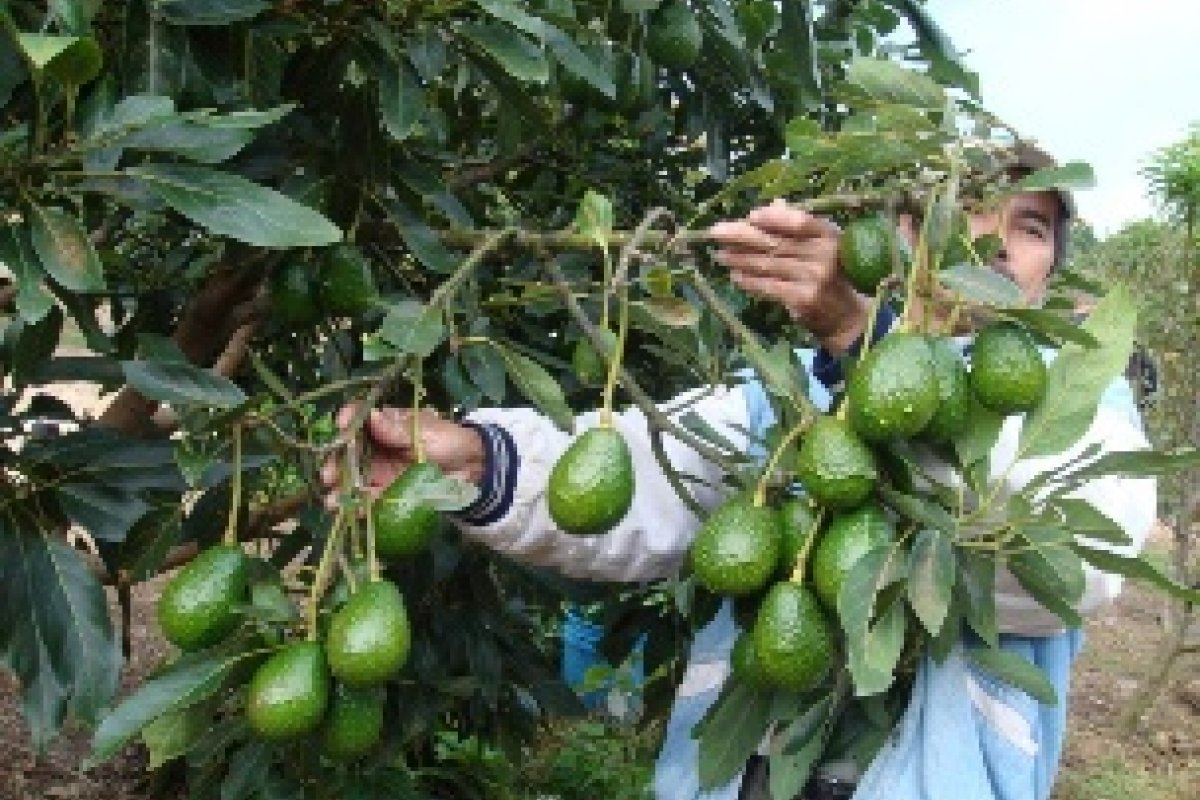 En agosto actividad primaria registró avances en la agricultura por una mayor producción de sorgo, maíz, aguacate, tomate, limón, manzana, uva, nuez, chile verde y plátano.
